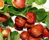 Les vertus pour votre santé de la feuille de jujubier