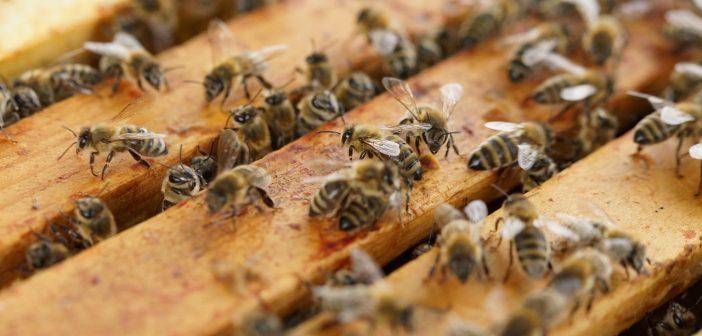 Sirop d'agave ou miel brut d'abeilles : lequel est le meilleur ?